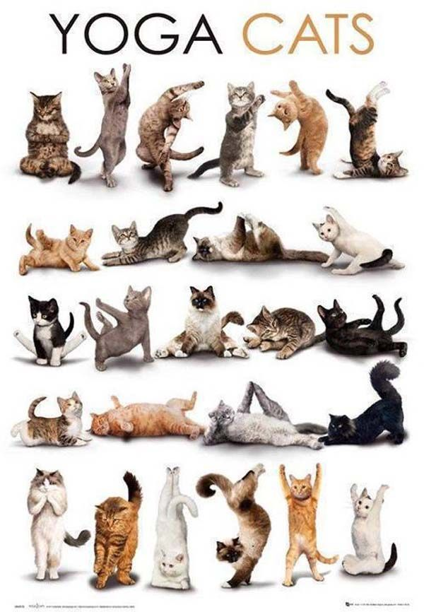Yoga Poses For Beginners Cat Yoga Cat Posters Crazy Cats