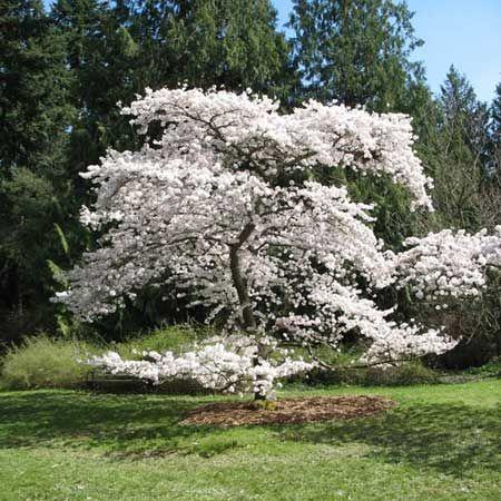 Cerisier Yoshino, Prunus yedoensis | Cerisier, Arbre d ornement, Arbre