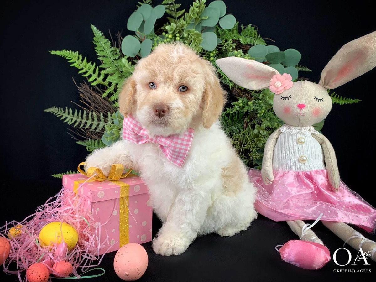 Pin on Okefeild Acres Mini Goldendoodle Puppies