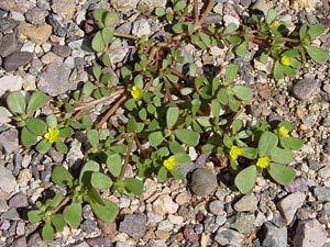 Portulaca Oleracea Little Hogweed Common Purslane Garden Purslane Green Purslane Pursley Wild Portulaca T Edible Wild Plants Portulaca Oleracea Plants