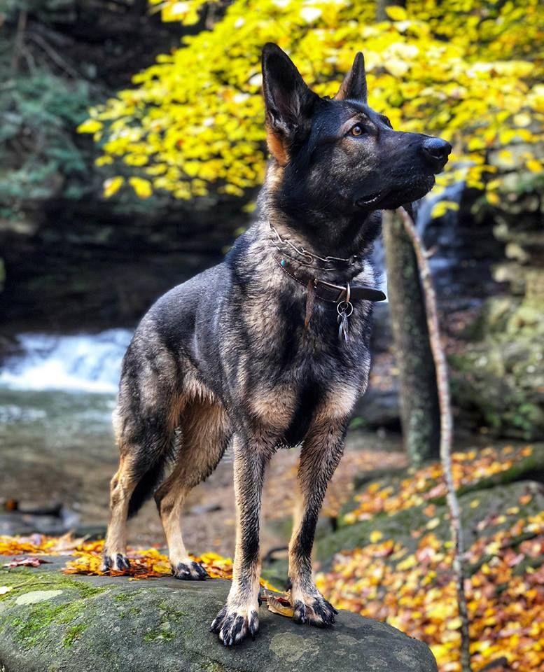 Shepherd dog, German shepherd dogs, Dogs