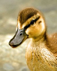 What Is the Average Life Span of a Duck? Read about duck's
