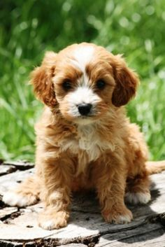 Red Cavoodle Puppies Cavapoo Puppies Puppies Cute Animals