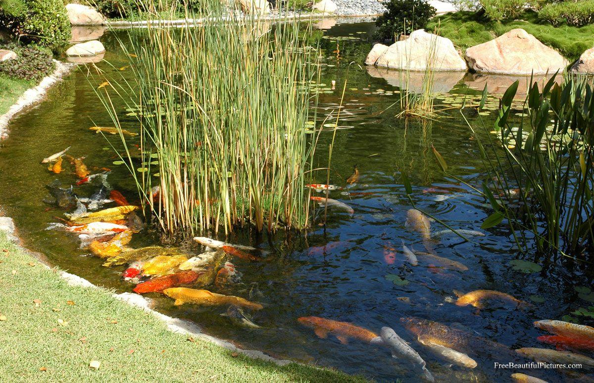 Bassin A Poisson Rouge bassin et kois | bassins, carpes koi, shubunkin. | carpe koi