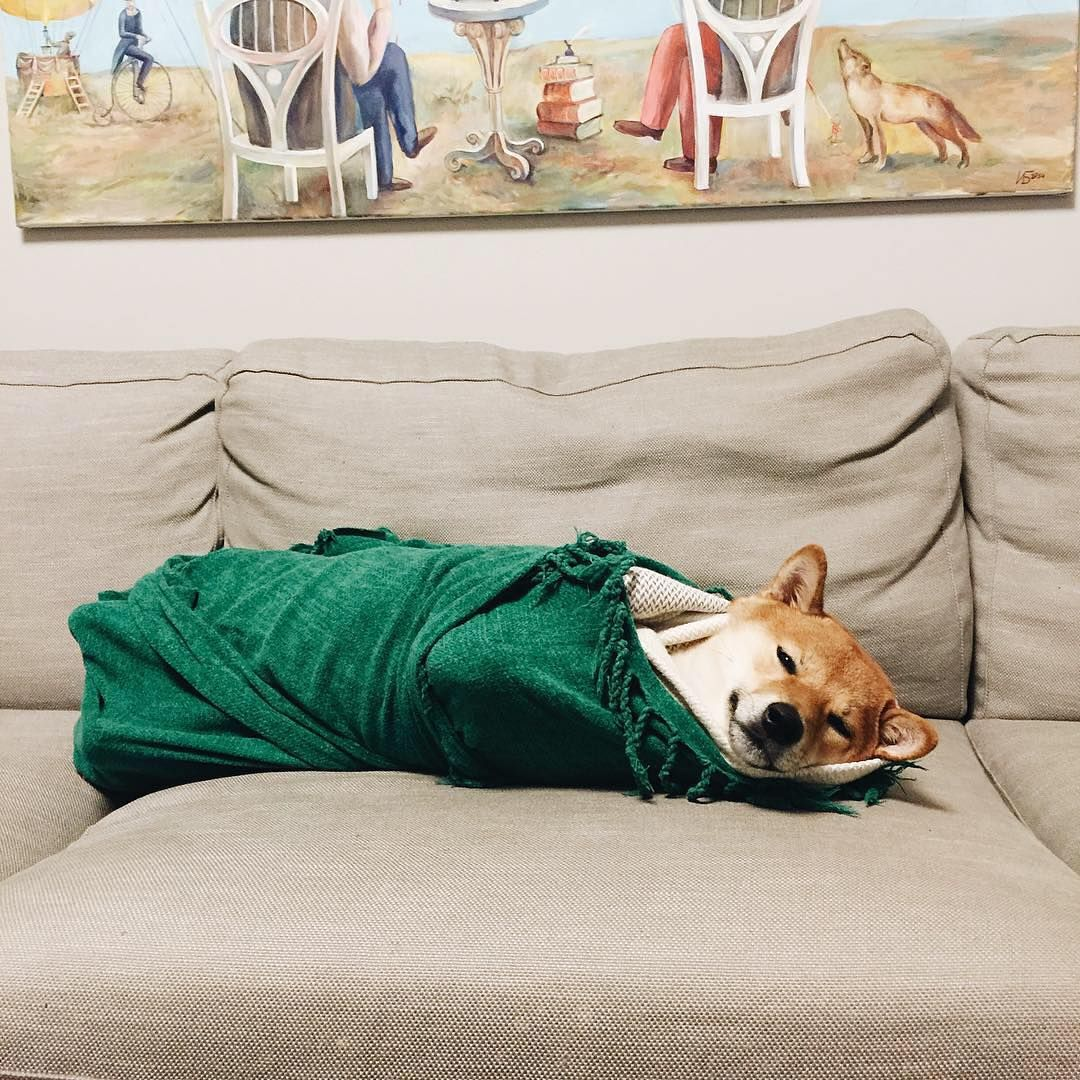 В сегодняшнем выпуске нашей рубрики #инстаграмзверят мы хотим рассказать о собаке по кличке Барни породы сиба-ину. Его хозяйка Юля Братцева, инстаграмер из Москвы, публикует фотографии Барни в аккаунте @barney_in: «Барни появился у нас чуть больше полутора лет назад: приехал из Саратова в отдельном купе, как барин. С тех пор барские привычки из него не выбить – самопровозгласил себя Властелином «дивана Всея Руси» и Грозой бумажных салфеток. К личным достижениям относит: сожранные лежанки…