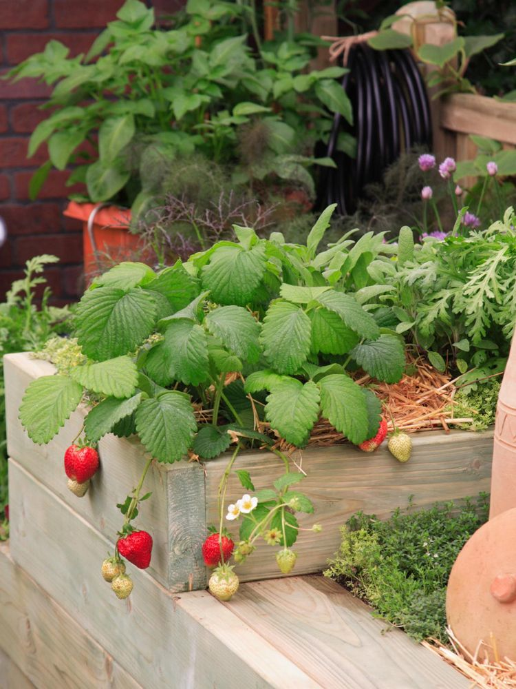 Erdbeeren Pflanzen Mit Diesen Tipps Konnen Sie Sich Auf Eine Gute Ernte Freuen Erdbeeren Pflanzen Eingezaunter Gemusegarten Und Erdbeerpflanzen
