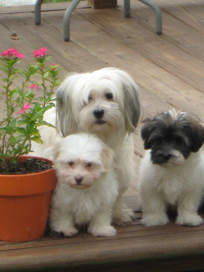 Just Love Havanese Puppies Havanese Puppies Havanese Dogs
