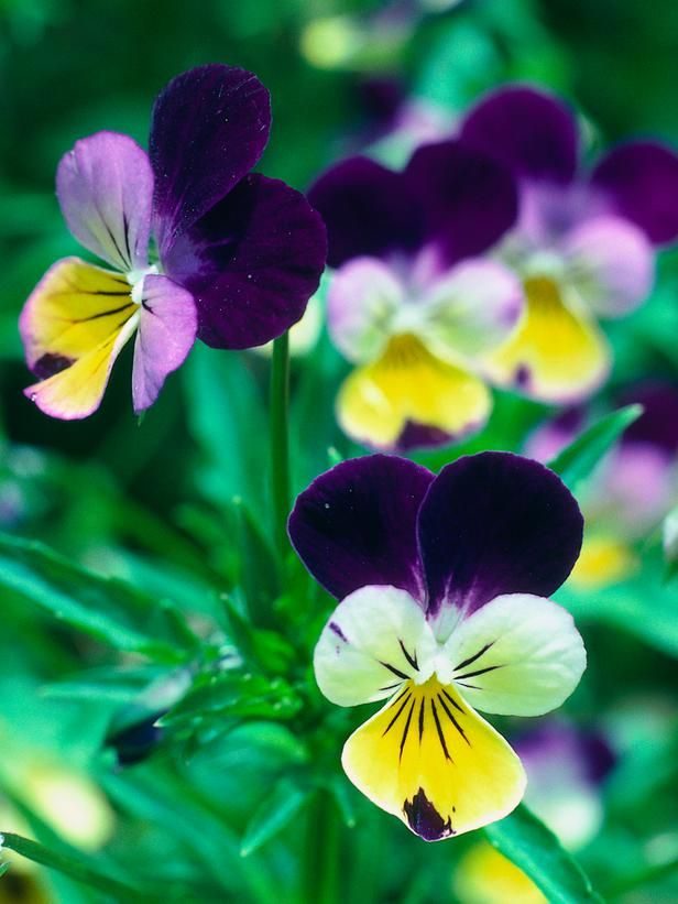 Edible Flowers : Outdoors : Home  Garden Television