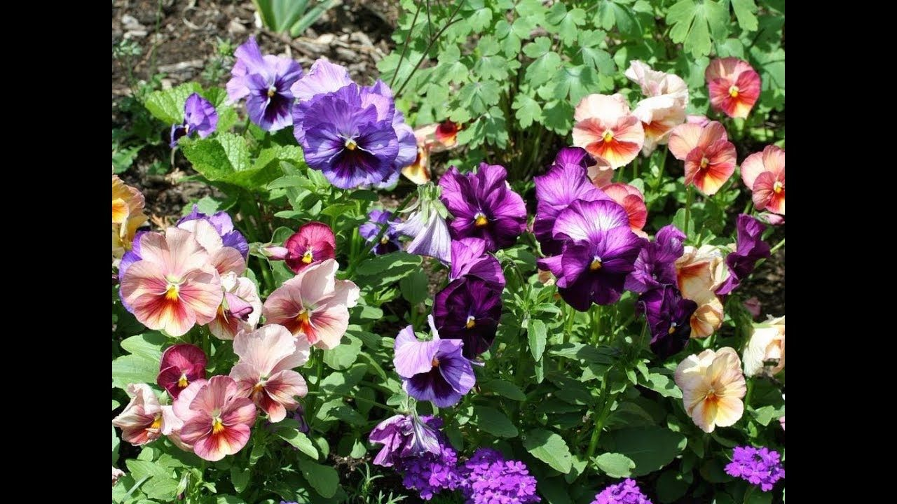 Amazing and most beautiful viola flowers beautiful and romantic amazing and most beautiful viola flowers izmirmasajfo