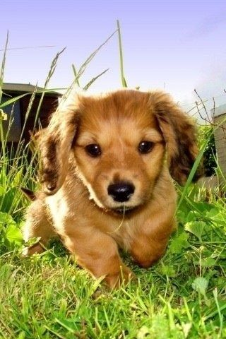 Little Doxin Dog Facts Dachshund Puppy Puppy Pictures