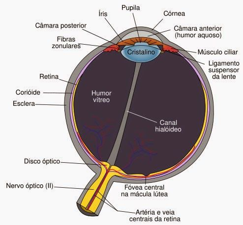 Loucos por Óculos: O Globo Ocular | Med school | Pinterest ...