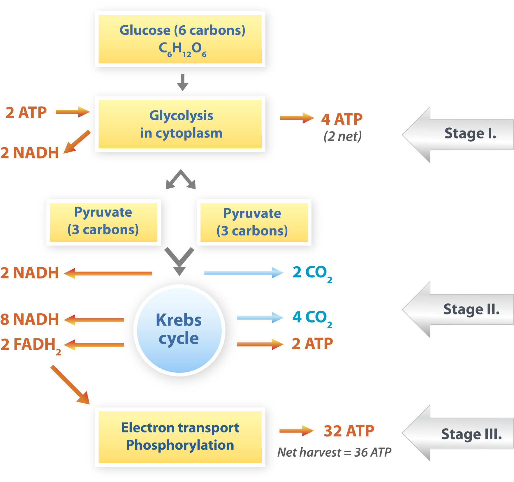 What are the coorrect order of steps required for aerobic cellular respiration?