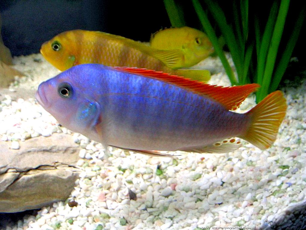 500 freshwater aquarium fish by greg jennings - 17 Best Images About Freshwater Aquariums On Pinterest Freshwater Aquarium Fish Cichlids And Lake Tanganyika