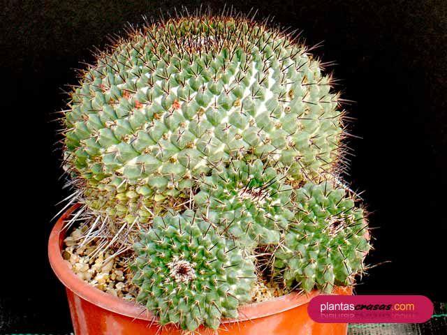 Mammillaria mixtax