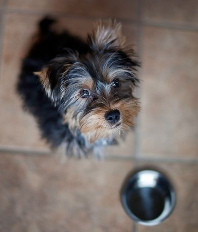 the best food for your yorkie part 7