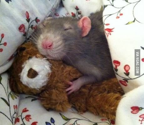 Insanely cute - how can people say rats are gross?? https://www.facebook.com/LeRatatouille