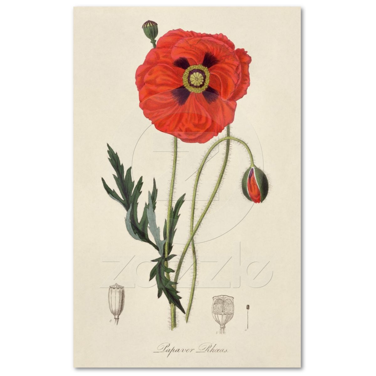 A Curious Herbal Red Poppy ELIZABETH BLACKWELL  Vintage Botanical Poster