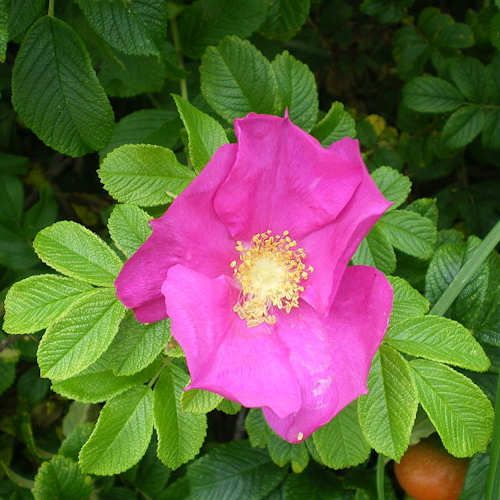 achat rosa rugosa rubra rosier du japon jeune plante en. Black Bedroom Furniture Sets. Home Design Ideas