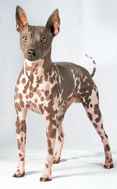 The American Hairless Terrier Hairless Dog Dog Coats Hairless