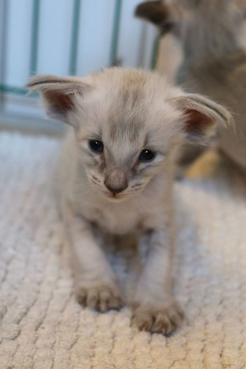 Blue Tabby Point Balinese Cat Tabby Cat Colors