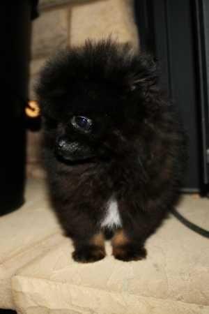 Teacup  Pomeranian  Puppy (mybreeding) #pugaccessories #teacuppomeranianpuppy