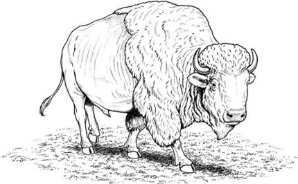 American Buffalo Bison Coloring Page Supercoloring Com Buffalo Pictures Coloring Pages Animal Coloring Pages