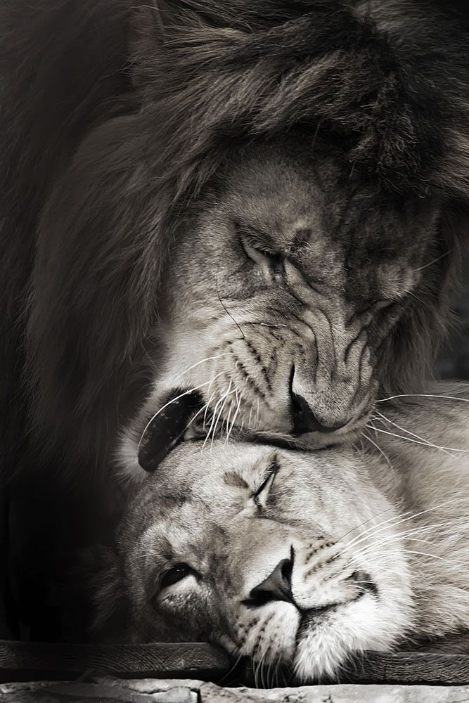 Moonbeamed Löwen Bären Tiger Tiere Löwe Liebe