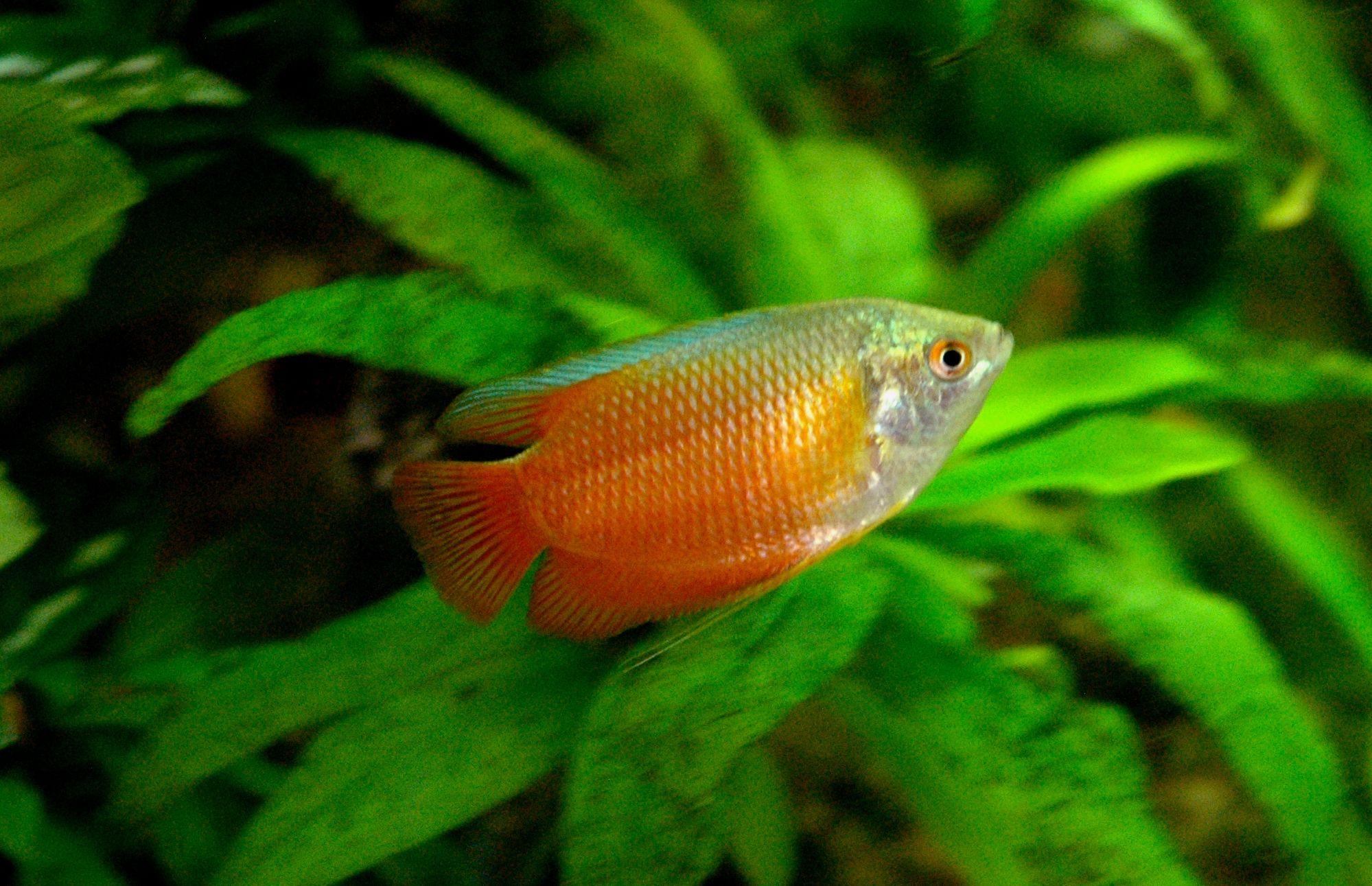 21 Most Beautiful Angelfish Tank Mates