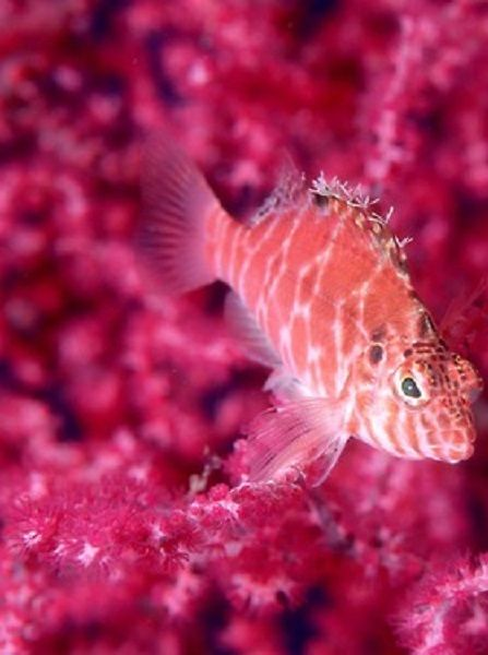 #hawkfish #red