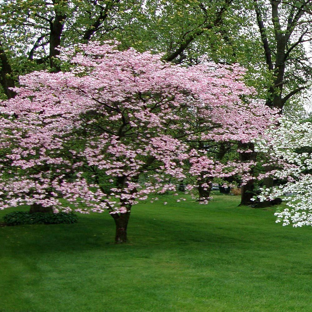 Onlineplantcenter 5 Gal 4 Ft Pink Flowering Dogwood Tree C3876g5 The Home Depot Dogwood Trees Pink Dogwood Tree Deciduous Trees