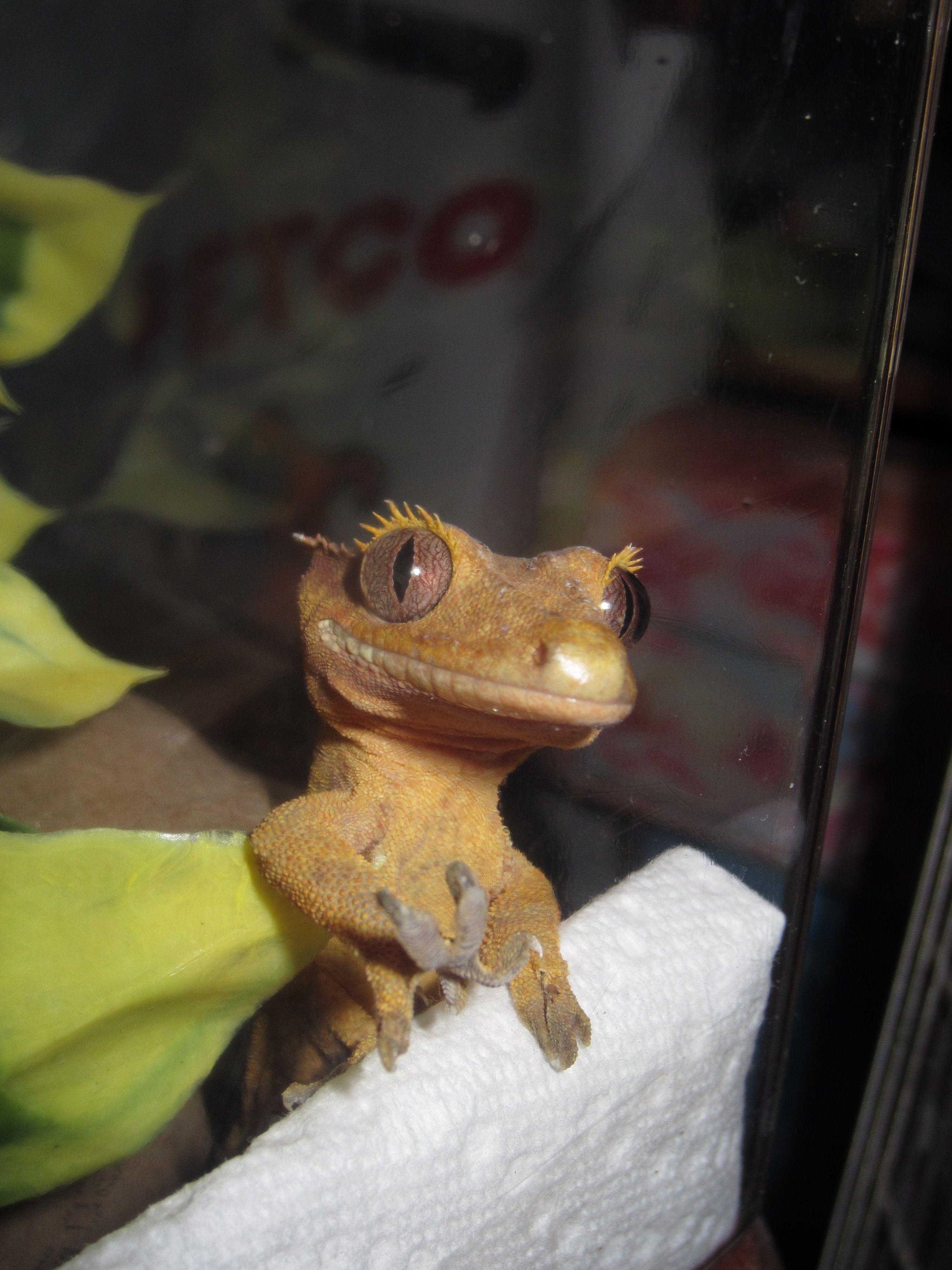 crested gecko care sheet petco erkal jonathandedecker com