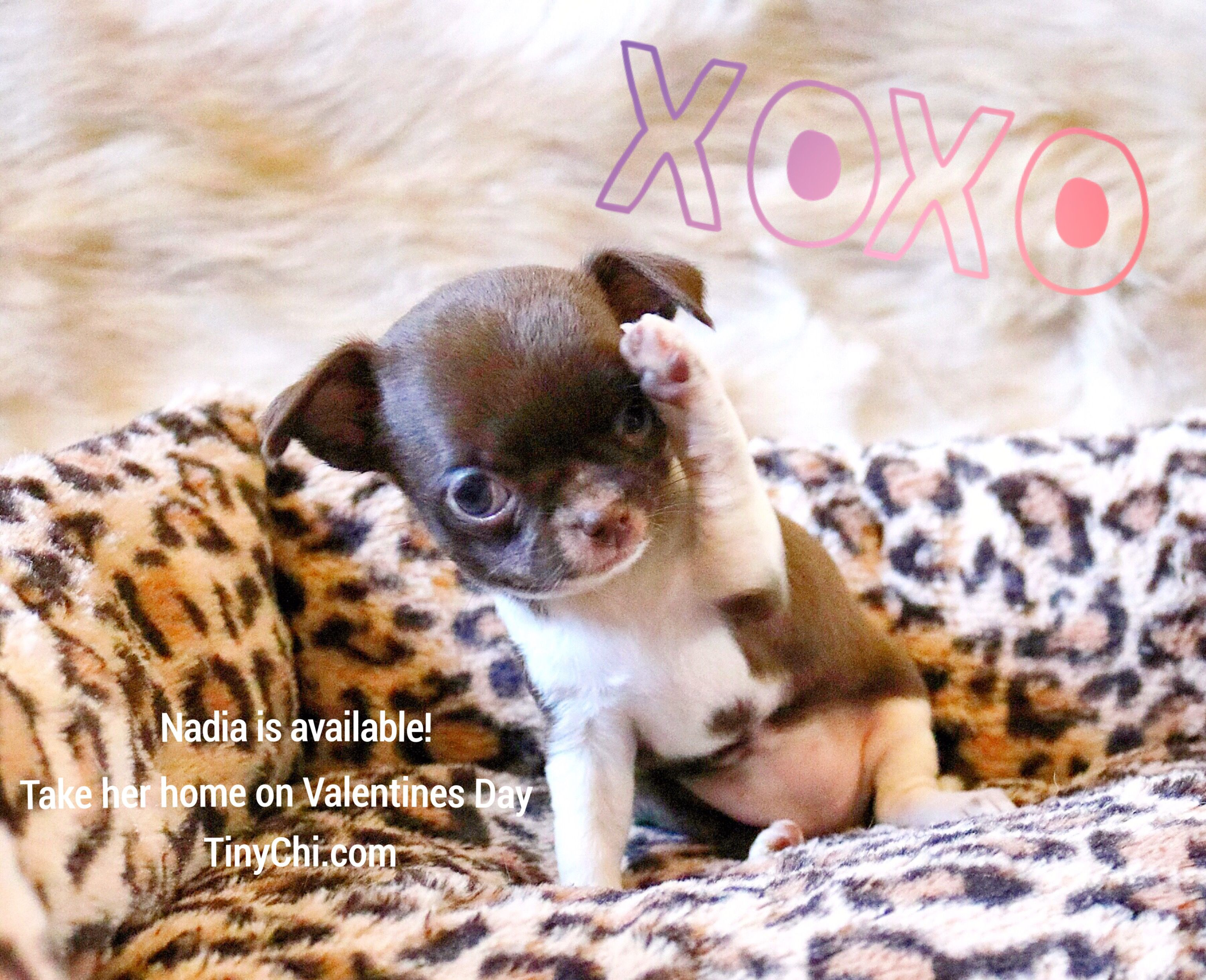 Nadia Is Available For Sale She Is Ready To Go Home On Valentine S Day We Live In The Tampa Bay Area If You W Chihuahua Breeders Chihuahua Puppies Chihuahua