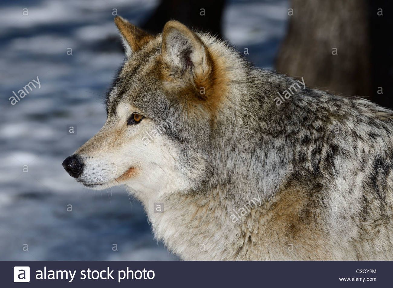 Image result for snow wolf profile Digital Design reference
