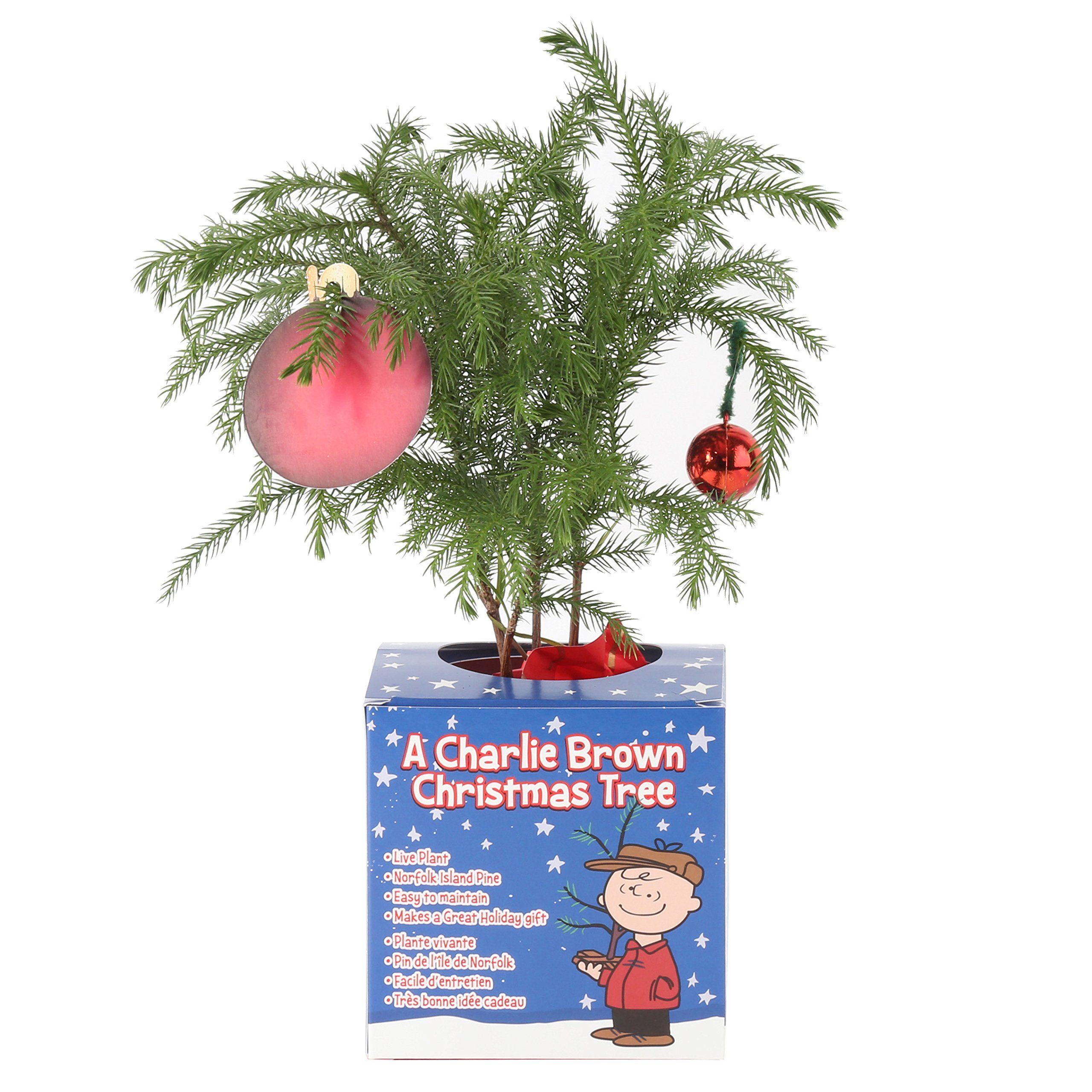 Costa Farms Live Charlie Brown Christmas Tree Norfolk Island Pine