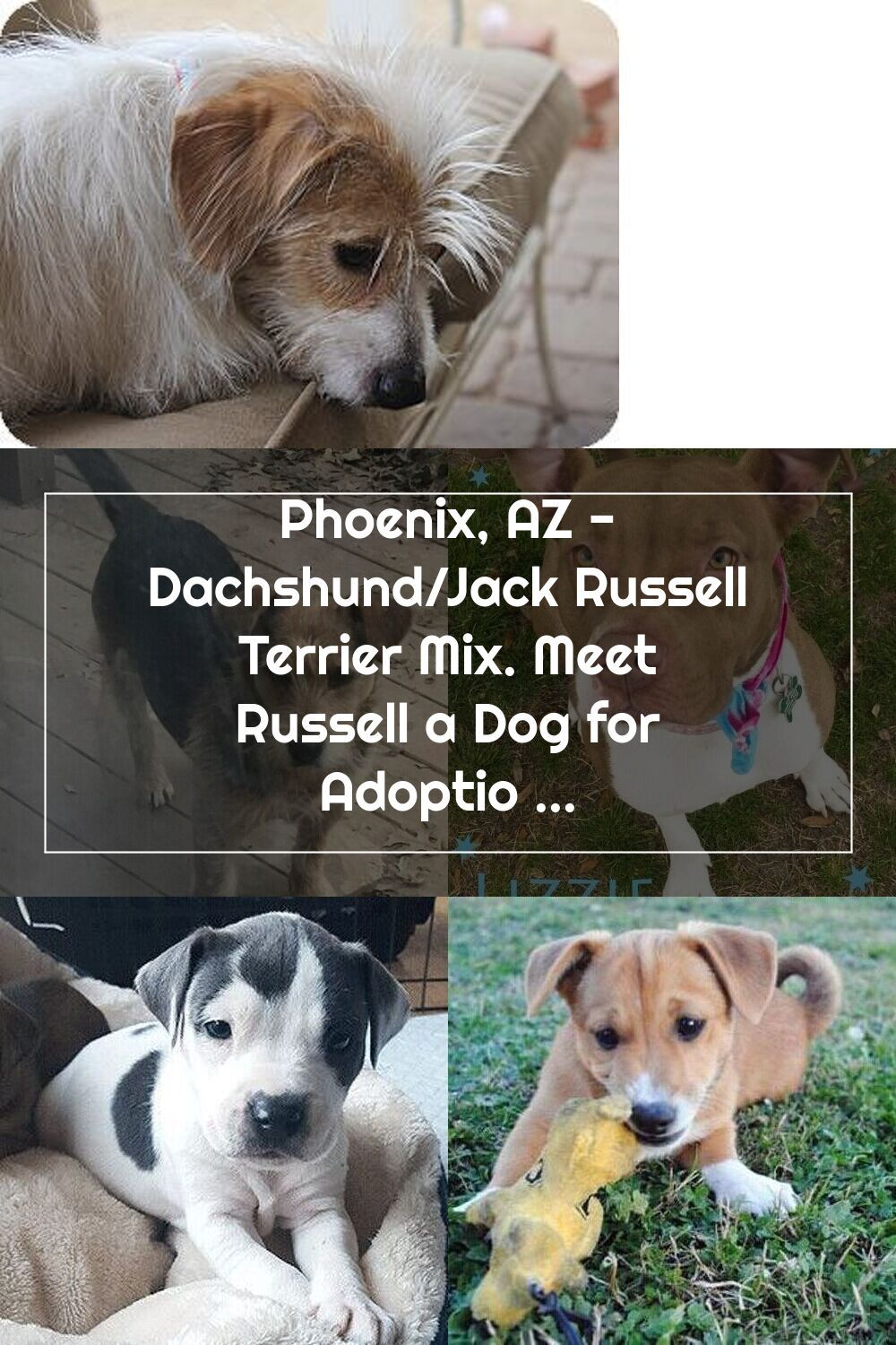 Phoenix Az Dachshund Jack Russell Terrier Mix Meet Russell A Dog For Adoption In 2020 Terrier Mix Jack Russell Terrier Mix Jack Russell