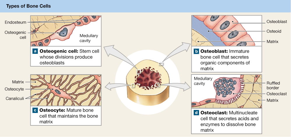 6 3 Bone Is Composed Of Matrix And Several Types Of Cells Osteogenic Cells Osteoblasts Osteocytes And Osteoclasts Osteoclast Types Of Bones Stem Cells