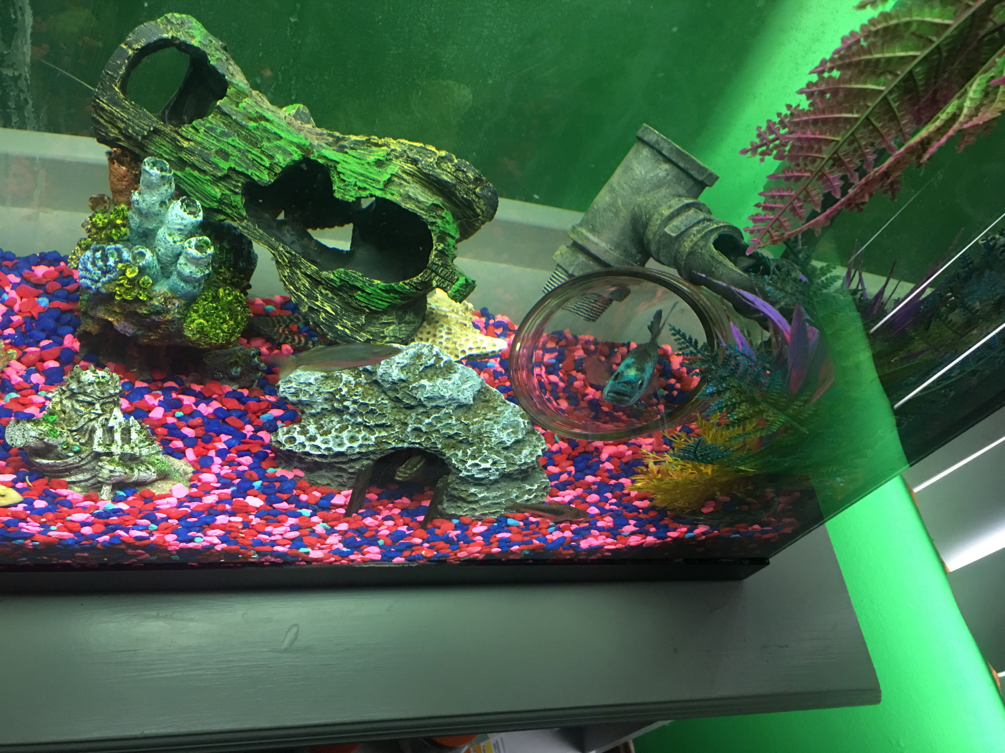 Tank decor with fish Electric blue jack Dempsey cichlid Synodontis