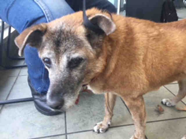 urgent 02 2018 ginger id a460792 i am a female brown shepherd blend the shelter staff think i am about 16 years old