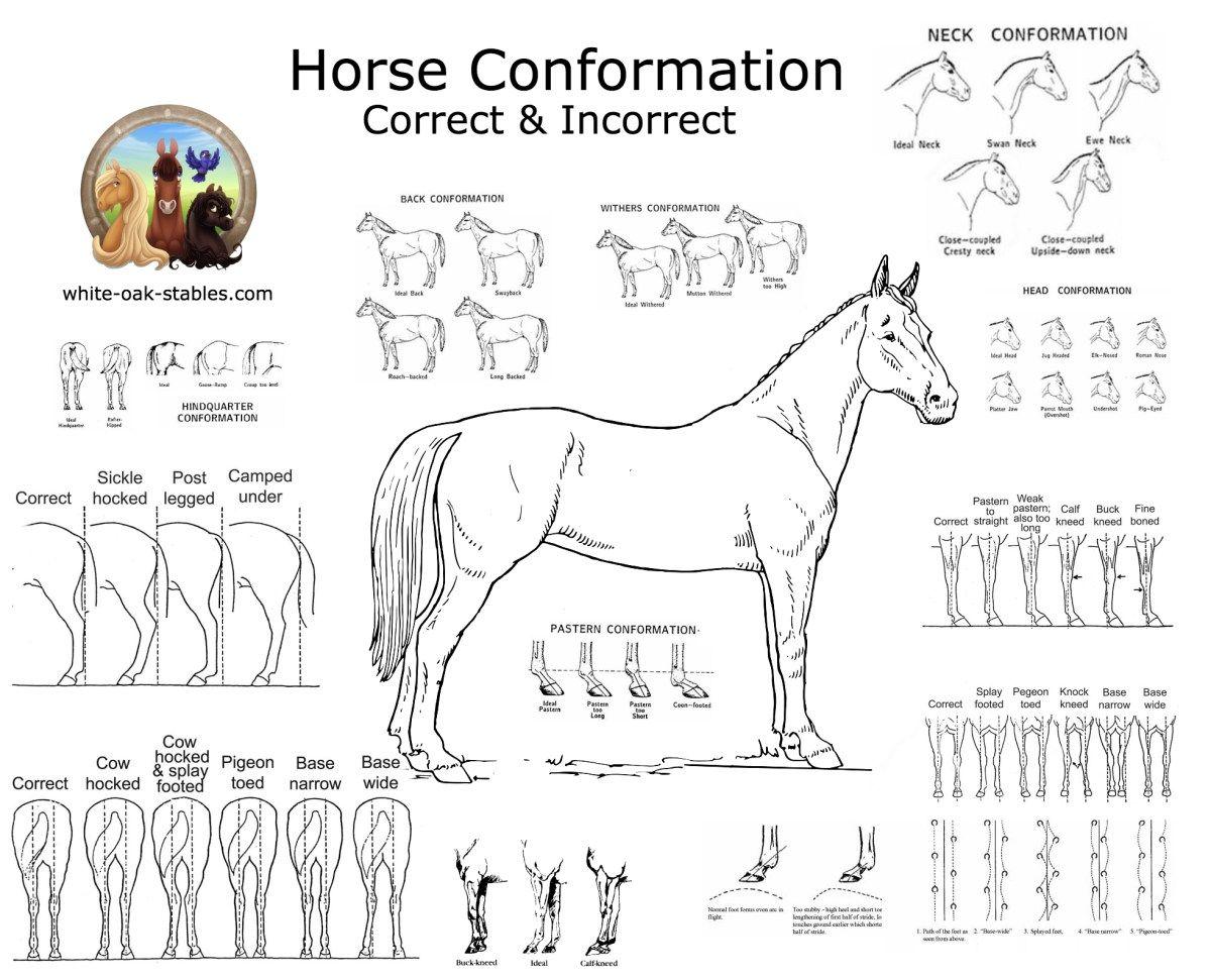 Visual Horse Conformation Horses Horse Lessons Horse Camp [ 971 x 1200 Pixel ]