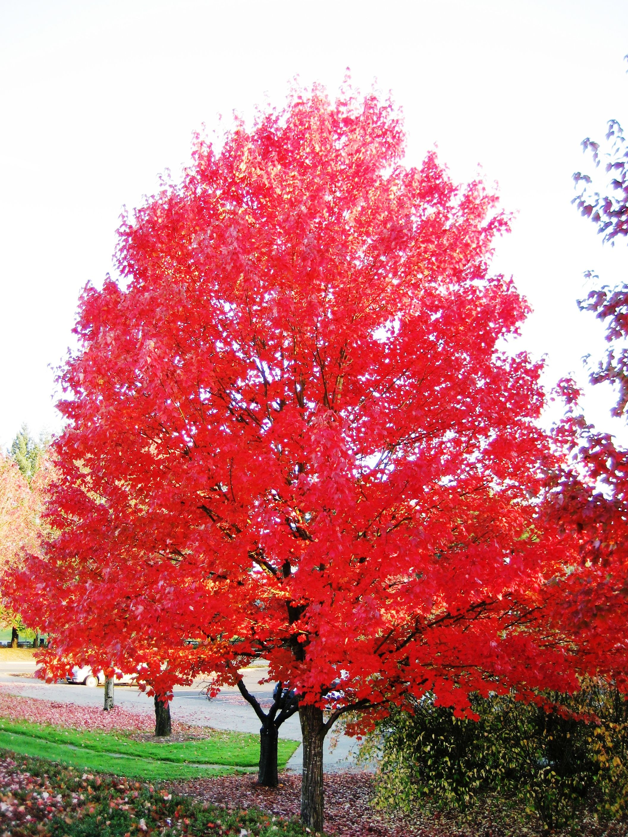 Ahorn October Glory Pin By Lori Bowman On Outdoors Red Maple Tree Maple Tree