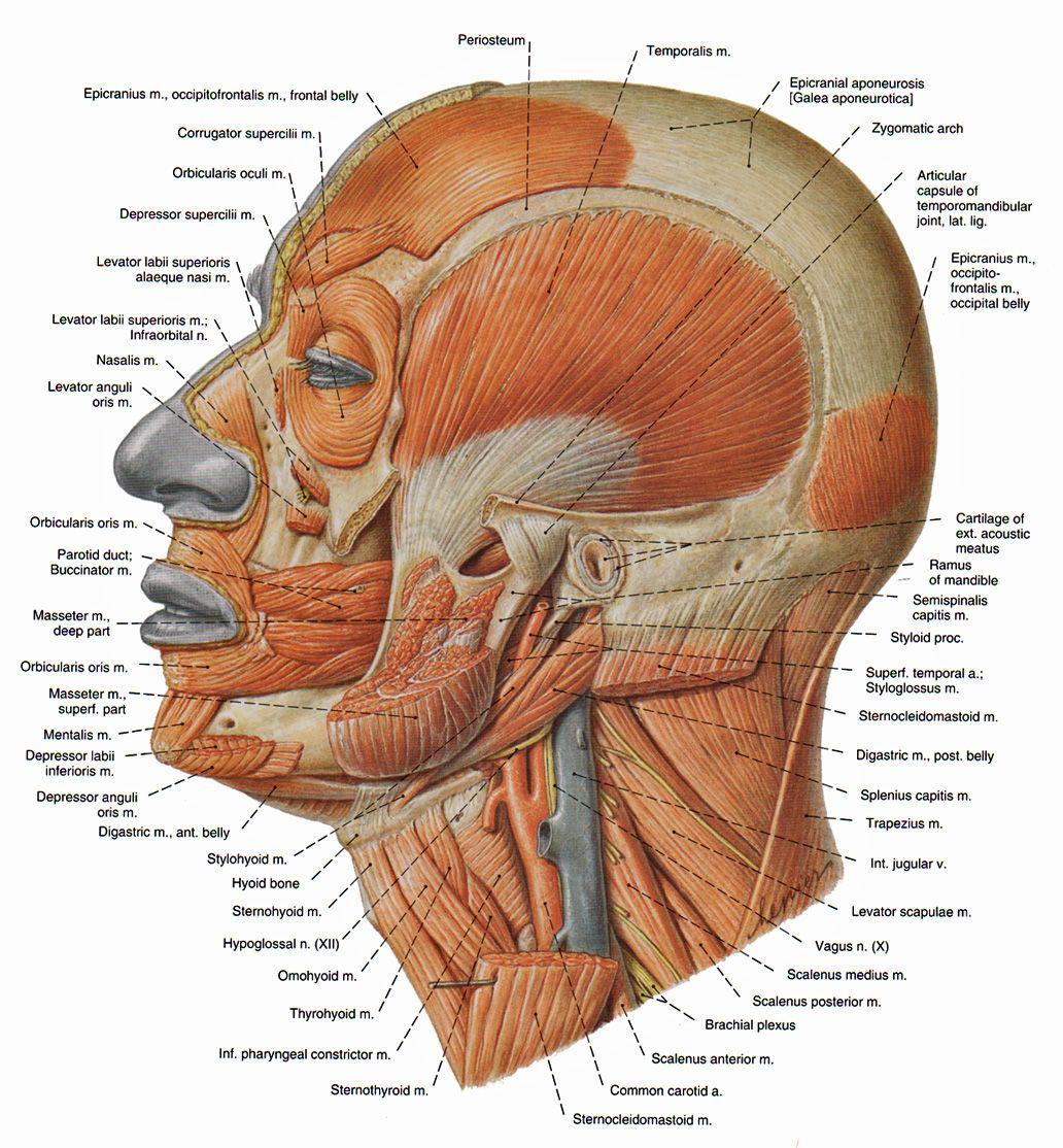 Head Muscles Headneck Pinterest Head Muscles Muscle Anatomy