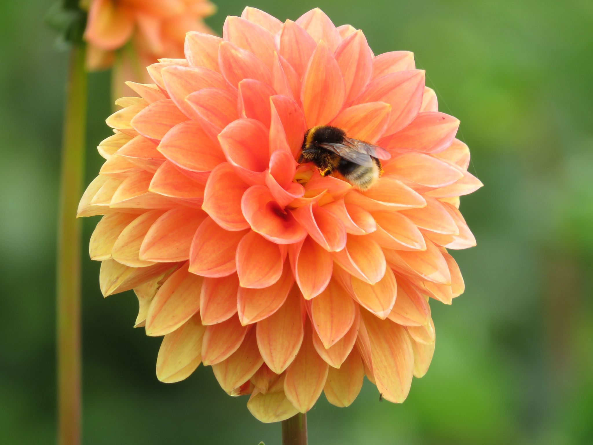 Dahlie mit Biene - null