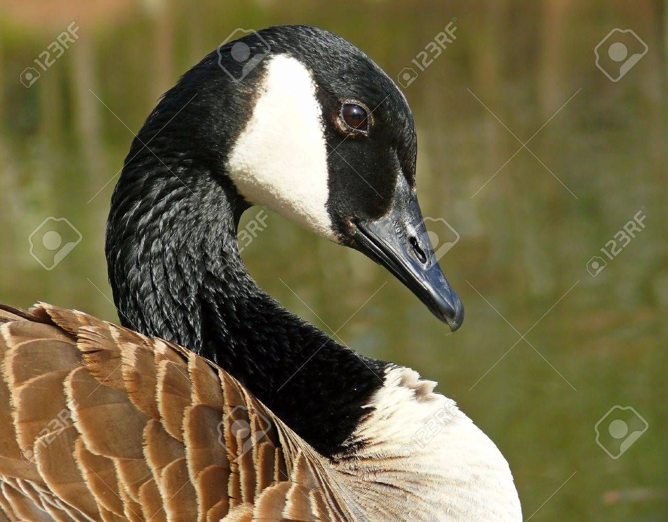 Google Image Result For Https Previews 123rf Com Images Mariedaloia Mariedaloia1203 Mariedaloia120300018 12961251 Canada Goose Face In 2020 Canada Goose Image Goose