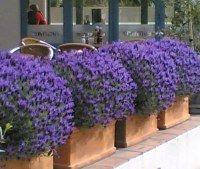 LAVENDER STOECHAS MAJOR - THE PRESS PLANT OF THE MONTH SEPTEMBER 2008