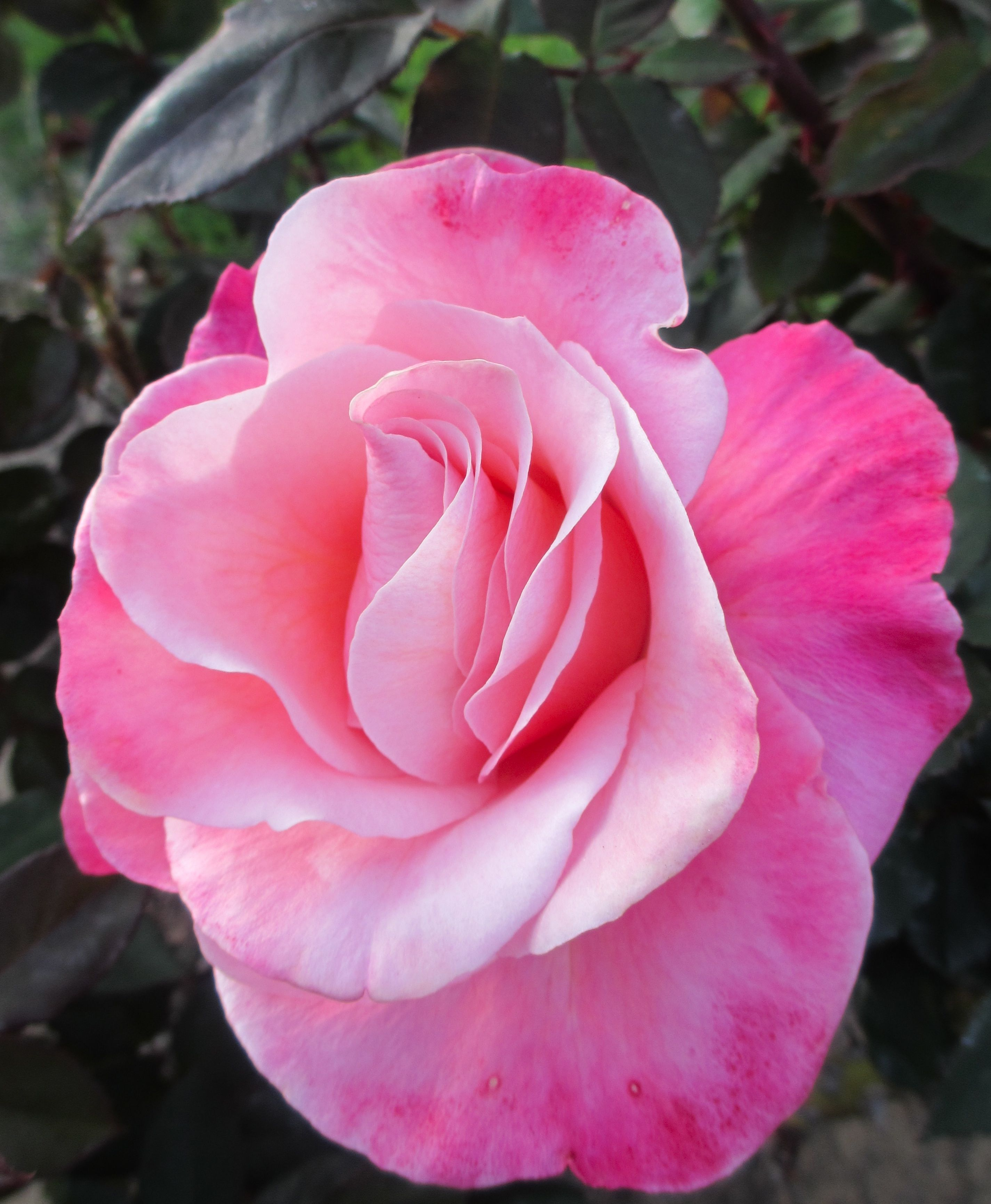 Welcome To Joy Us Garden Beautiful Rose Flowers Flower Lover Beautiful Roses
