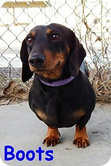 Dachshund Mix Dog For Adoption In Erie Pennsylvania Boots