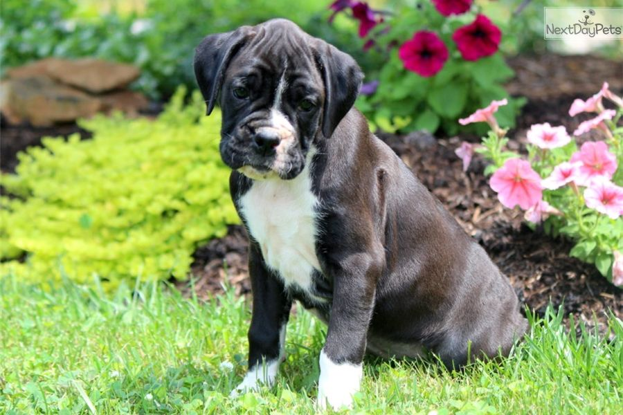 Boxer Puppy For Sale Near Lancaster Pennsylvania 30ed7ddc B091