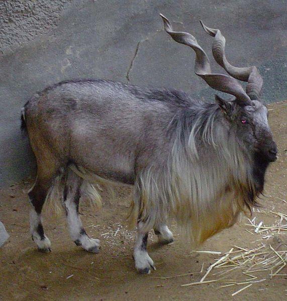 Weird Animals With Horns 5