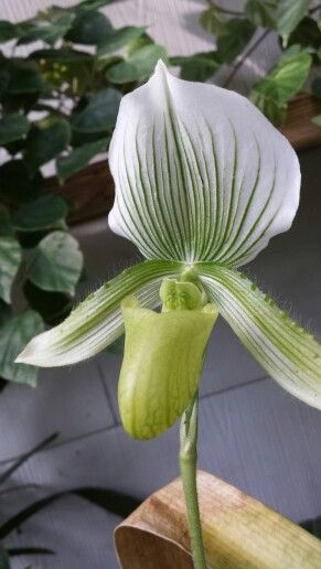 New bloom from my orchids..... pretty right?
