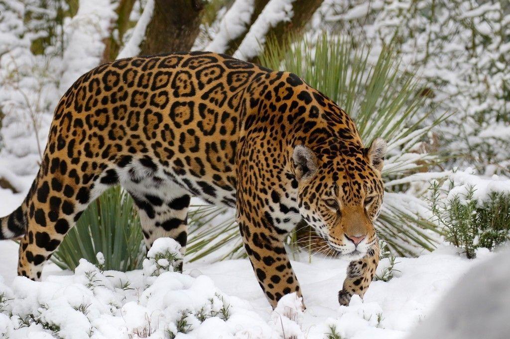 Jaguar Predator Black Animal Muzzle Art Wallpaper: Winter, Wild Cat, Jaguar, Predator Wallpaper